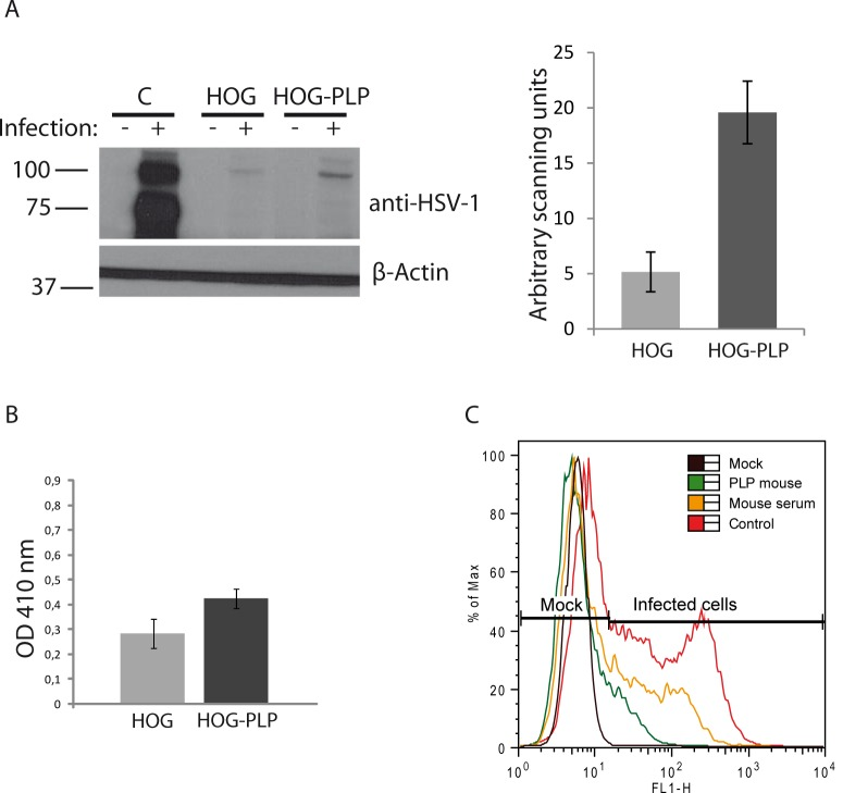 Viral entry assays. A. HOG and HOG-PLP cells were infected with R120vGF at a m.o.i. of 1. After 24 h p.i., equal number of cells were subjected to SDS–PAGE and analyzed by immunoblotting with a rabbit polyclonal anti-HSV-1 antibody to detect immediate early proteins. In HOG-PLP cells, an increase in viral signal was observed. A positive control of HOG cells infected with HSV-1 was also included. The histogram corresponds to the quantification of the immunoblot signals expressed in arbitrary scanning units. B. Confluent monolayers of cells plated in 96-well tissue culture dishes were infected with a recombinant HSV-1 (KOS) gL86 at a m.o.i. of 10. After 6 h p.i., the β-galactosidase activity at 410 nm was analyzed in a microplate reader. Optical density (OD) was increased in HOG-PLP cells compared to HOG cells. C. To perform an antibody blocking assay, HOG cells blocked with an anti-PLP antibody were infected at a m.o.i. of 1 with K26GFP and processed for flow cytometry, analyzing fluorescence of GFP. Percentage (%) of max designates the number of cells relative to the maximum fraction. For each fluorescence intensity within positive cells, the percentage of cells incubated with blocking mouse anti-PLP antibody is considerably lower than control cells incubated without blocking antibodies (red plot) or cells incubated with a control mouse serum (yellow plot). Data are representative of 3 independent experiments.