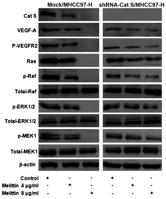 Effects of melittin on the phosphorylation/activation of VEGF-A/VEGFR-2/MEK1/ERK1/2 signaling pathway. Melittin specifically decreased the expression of phosphorylated/activated Cat S, VEGF-A, p-VEGFR-2, Ras, p-Raf, p-MEK1 and p-ERK1/2 in Mock/MHCC97-H cells, however, did not affect shRNA-Cat S/MHCC97-H cells. Results are from a representative experiment performed with qualitatively similar results. β-actin served as an internal control in each sample. VEGFR, vascular endothelial growth factor receptor; MEK, mitogen-activated protein kinase; ERK, extracellular regulated mitogen-activated protein kinase; p, phosphorylated, shRNA, small hairpin RNA.