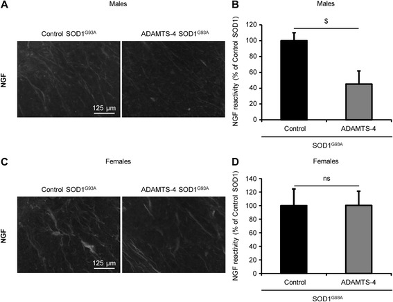 rADAMTS-4 decreases NGF expression in the lumbar spinal cord of male SOD1 G93A mice. a Representative photomicrographs of ventral horns in lumbar spinal cord sections from control or ADAMTS-4-treated SOD1 G93A male mice stained with NGF. Scale bar: 125 μm. b Quantification of NGF immunoreactivity per area from male mice ( a ). Values plotted are m ean ± SEM. Unpaired two-tailed t-Test: $ P