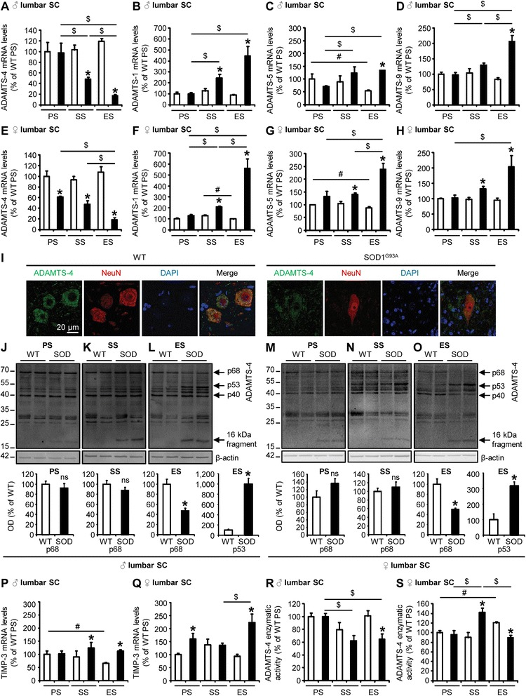 Decrease of ADAMTS-4 activity in the lumbar spinal cord of SOD1 G93A mice at disease end-stage. a - h Quantitative RT-PCR for ADAMTS-4 ( a , e ) ADAMTS-1 ( b , f ) −5 ( c , g ) and −9 ( d , h ) expression in the lumbar spinal cord (SC) of WT (blank bar) and SOD1 G93A (black bar) male (♂; a , b , c , d ) or female (♀; e , f , g , h ) mice at presymptomatic (PS), symptomatic (SS) and end (ES) stages. Values plotted are mean ± SEM. Mann–Whitney U -tests: * P