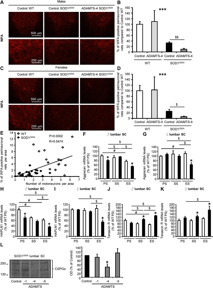 rADAMTS-4 reduces perineuronal nets enwrapping motoneurons in the lumbar spinal cord of SOD1 G93A mice. a Representative photomicrographs of ventral horns in lumbar spinal cord sections from WT and control or ADAMTS-4-treated SOD1 G93A male mice stained with WFA, a marker of perineuronal nets. Scale bar: 500 or 250 μm. b Quantification of WFA immunoreactivity per area from male mice ( a ). Values plotted are mean ± SEM. Two-way ANOVA: *** P