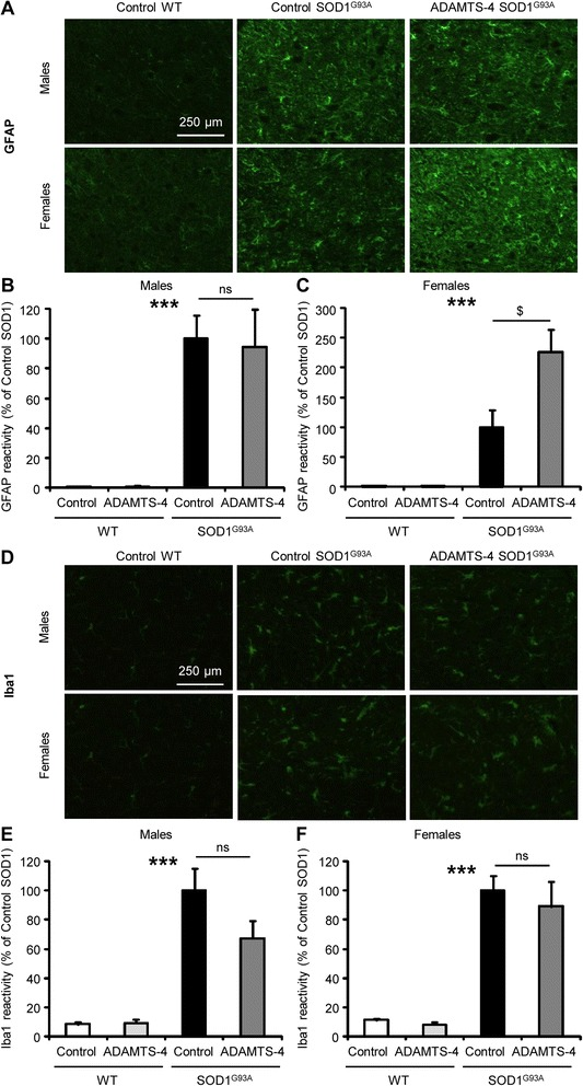 rADAMTS-4 increases astrogliosis in the lumbar spinal cord of female SOD1 G93A mice. a Representative photomicrographs of ventral horns in lumbar spinal cord sections from WT and control or ADAMTS-4-treated SOD1 G93A mice stained with GFAP. Scale bar: 250 μm. b Quantification of GFAP immunoreactivity per area from male mice ( a ). Values plotted are mean ± SEM. Two-way ANOVA: *** P