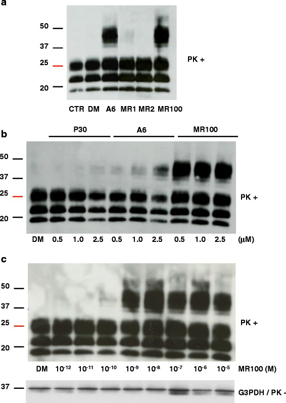 MR100 has a stronger PrP Sc  oligomer-inducing activity in prion-infected N2a58/22L cells than P30 and A6.  a  Effect of the newly synthesized MR1, MR2 and MR100 compounds in prion-infected N2a58/22L cells. Cells were left untreated (CTR) or incubated with 20μM of A6 (positive control), MR1 and MR2 (synthesis intermediates), MR100, or 20μL DMSO (DM) for 4days. Protein lysates were analyzed by immunoblotting with the SAF mix (a mixture of the anti-PrP SAF60, SAF69 and SAF70 monoclonal antibodies) after proteinase K (PK) digestion.  b  Comparison of the oligomer-inducing activity of P30, A6 and MR100. Prion-infected N2a58/22L cells were incubated with 0.5, 1 or 2.5μM of each compound, or 20μL DMSO (DM) for 4days. Protein lysates were then analyzed by immunoblotting with the SAF mix after PK digestion.  c  MR100 dose-response curve in prion-infected N2a58/22L cells. Successive dilutions of MR100 in DMSO were used to obtain final concentrations ranging from 10 -12 M (1pM) to 10 -5 M (10μM). Cells were incubated for 4days and at confluence they were lysed. Protein lysates were analyzed by immunoblotting with the SAF mix after PK digestion according to the previously described protocol [  16 ,   30 ]. Loading control was performed with antibodies against glyceraldehyde-3-P dehydrogenase (G3PDH) and before proteinase K digestion. Molecular masses (20–50kDa) are indicated on the left side of the panels