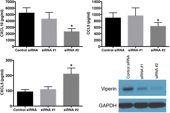 Validation of the microarray data at the protein level. HBE cells were transfected with the all-star control siRNA, or two independent siRNA reagents that target IRF7 (siRNA #1, siRNA #2). The cells were allowed to recover, and then exposed to HRV for 24 h. Protein levels for CCL5, CXCL5, CXCL10 were measured by ELISA and are shown as mean ± SEM from 4 experiments. Asterisks show significant differences compared to the all star control siRNA treatment. Expression of viperin protein was assessed by western blot. Data are representative of 4 such experiments