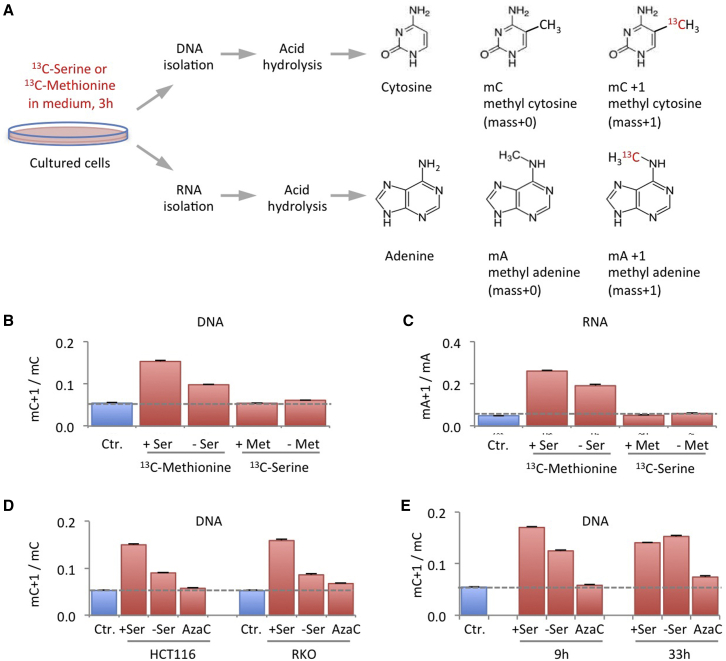 Methyl Transfer from Methionine to DNA and RNA Is Impeded during Serine Starvation, yet Serine Does Not Contribute One-Carbon Units for Methylation under Methionine-Fed Conditions (A) A method was developed to directly track the incorporation of labeled one-carbons from extracellular nutrients into DNA and RNA. After starvation/drug treatment, cells were fed labeled nutrients for 3 hr. Following standard DNA and RNA isolation, nucleic acids were hydrolyzed and analyzed by LCMS, revealing the extent of methyl cytosine and methyl adenine labeling. (B and C) RKO cells were grown in the presence or absence of unlabeled methionine 0.1 mM (Met) and serine 0.8 mM (Ser) for 6 hr, after which the media were replaced with matched media containing either labeled methionine or labeled serine for 3 hr and analyzed as outlined in (A). The methionine-starved cells were supplemented with 0.8 mM homocysteine and 1 μM vitamin B 12 . The ratio of labeled to unlabeled methyl cytosine (mC+1/mC) in DNA and labeled to unlabeled methyl adenine (mA+1/mA) in RNA are shown. Data are averages of triplicate wells, and error bars are SD. Broken lines indicate the background labeling due to natural 13 C abundance, shown as control (Ctr.) blue bars. (D) HCT116 and RKO cells were grown with or without serine 0.8 mM (+/−Ser) for 6 hr, after which the media were replaced with matched media containing either unlabeled (Ctr.) or labeled methionine for 3 hr and analyzed as outlined in (A). Azacytidine 0.5 μM (AzaC) a DNA methyltransferase inhibitor was used as positive control. Data are averages of triplicate wells; error bars are SD. (E) HCT116 cells were treated as described in (D), either with an initial serine starvation (with unlabeled methionine) of 6 hr or 30 hr, followed by a 3 hr period with labeled methionine. Data are averages of triplicate wells; error bars are SD. See also Figure S1 .