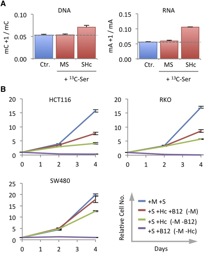 Under Methionine Starvation, Homocysteine Is Re-Methylated Using One-Carbon Units from Serine (A) RKO cells were grown with unlabeled methionine 0.1 mM and serine 0.8 mM (MS) or unlabeled serine plus homocysteine (SHc) for 21 hr, followed by matched medium containing 13 C 3 15 N 1 -labeled serine for 3 hr. DNA and RNA were isolated an analyzed by LCMS. Broken lines indicate the background labeling due to natural 13 C abundance, shown as control (Ctr.) blue bars. Data are averages of triplicate wells; error bars are SD. (B) RKO, HCT116, and SW480 cells were grown in medium with serine 0.8 mM (S), with or without methionine 0.1 mM (M), homocysteine 0.8 mM (Hc), and vitamin B 12 1uM (B12), and counted after 2 and 4 days. Data are averages of triplicate wells; error bars are SD.