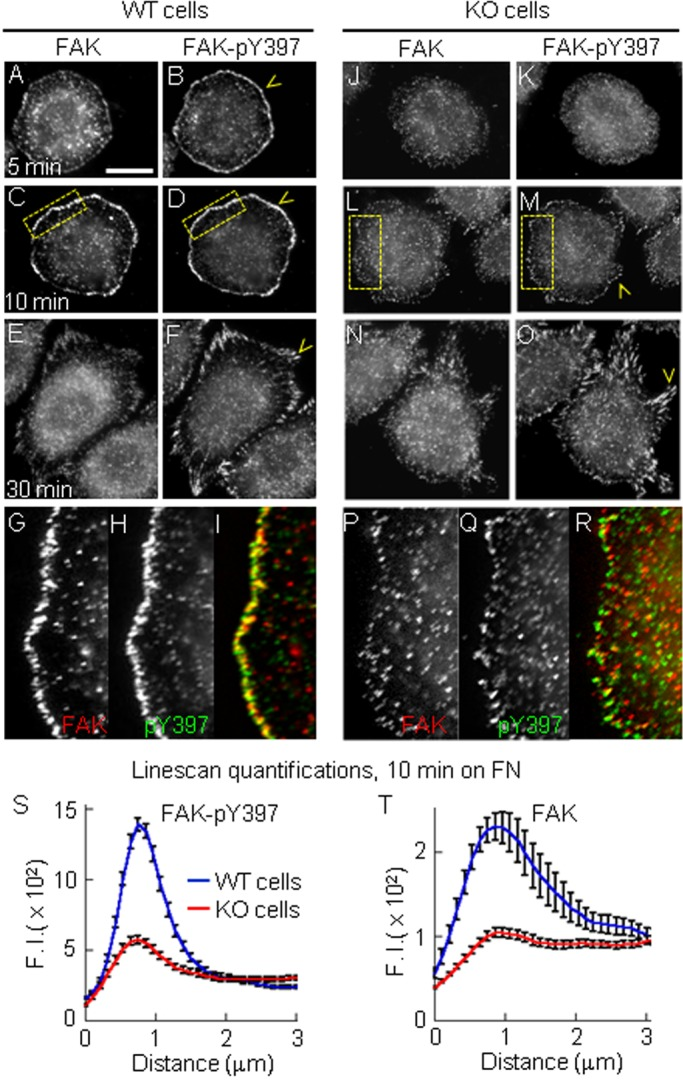 PTP1B promotes early integrin-dependent FAK activation. WT (A-I) and KO cells (J-R) plated on fibronectin for 5, 10 and 30 min. Cells were double-immunolabeled for FAK and FAK-pY397. (A-F) WT cells showing FAK-pY397 accumulation in a peripheral ring of puncta at 5 and 10 min, and in elongated peripheral adhesions at 30 min (yellow arrowheads). (G-I) Enlarged views (4×) of the boxed regions in C and D. (J-O) KO cells did not show FAK-pY397 accumulation at the cell periphery at 5 min post-plating, but localized in discrete peripheral puncta by 10 min (M) and in elongated peripheral adhesions by 30 min (O). (P-R) Enlarged views of the boxed regions in L and M. (S,T) Quantification of peripheral FAK-pY397 (S, n =42 cells) and FAK (T, n =32 cells) signal as described in Fig. 1 . Differences between mean values at the peak were statistically significant P