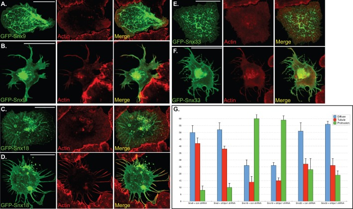Localization of Snx9, Snx18 and Snx33 in S2 cells.  (A,B) S2 cells were transfected with a plasmid encoding GFP-Snx9. Two days after transfection, the cells were spotted onto con A coverslips and allowed to adhere. The cells were then fixed and counterstained with Phalloidin to visualize F-actin (red). Panel A represents an example of a tubule containing cell and panel B represent a cell that has formed protrusions. (C,D) S2 cells were transfected with a plasmid encoding GFP-Snx18. The cells were treated as in the above panels. C is an example of a GFP-Snx18 cell that has formed tubules and panel D is an example of a cell with long protrusions. (E,F) S2 cells were transfected with a plasmid encoding GFP-Snx33 and treated as above. E is an example of a tubule containing cell and panel F is an example of a cell that has formed protrusions. Scale bars: 15 μm. (G) Quantification of phenotypes observed upon over-expressing GFP-Snx9, Sxn18 and Snx33. The quantification criteria for determining Diffuse, Tubule or Protrusion was the same as previously described. The graph represents data from three independent experiments. For each experiment, 100 cells were counted per construct. The error bars represent standard deviation.
