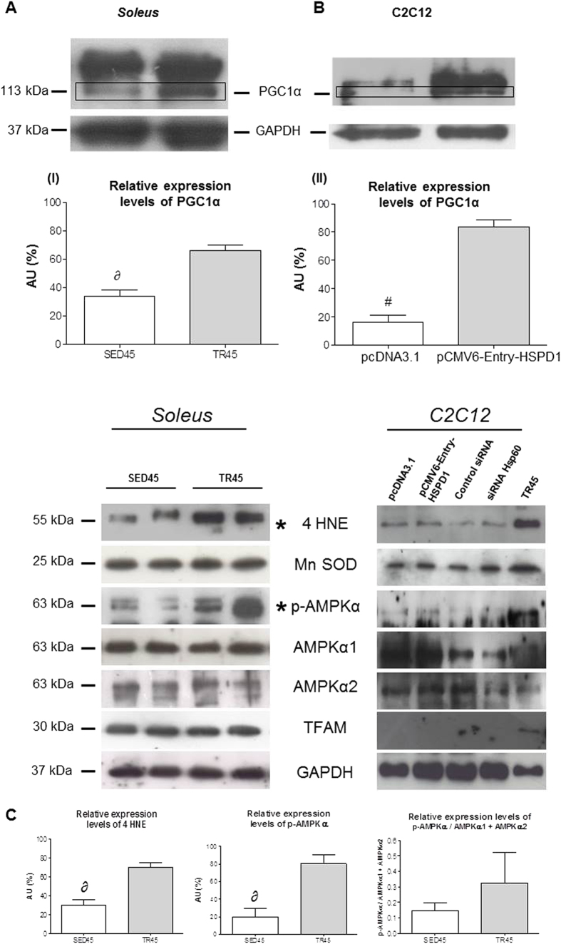 PGC1 α1 levels increase in the soleus in trained mice and in transfected C2C12 cells upon transfection with pCMV-Entry-HSPD1 vector. ( A ) representative western blots of soleus and relative expression levels (bars) of PGC1 α1 (113 kDa), 4 HNE (55 kDa), Mn SOD (25 kDa), p-AMPKα (63 kDa), AMPKα1 (63 kDa), AMPKα2 (63 kDa), TFAM (30 kDa) in soleus of sedentary (SED45, open bar, n = 8) and trained (TR45, shaded bar, n = 8) mice at 45 days. 80 μg of proteins were loaded in each lane; GAPDH (37 kDa) was used as the loading control. Data are presented as the means ± SD. ∂ significantly different from TR45 mice (P
