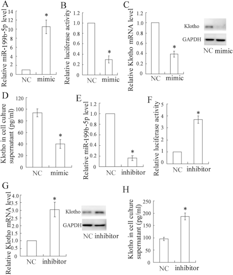 miR-199b-5p targeted klotho and regulated its expression in HK-2 cells. The HK-2 cells were transfected with an miR-199b-5p mimic/inhibitor or NC, and the expression of miR-199b-5p was quantified by real-time PCR ( A,E ). The 3′ UTR activity of klotho was detected by a luciferase reporter assay ( B,F ). The expression of klotho was quantified by real-time PCR and a Western blot ( C,G ). The klotho concentration of cell culture supernatant was determined with an ELISA kit ( D , H ). * P