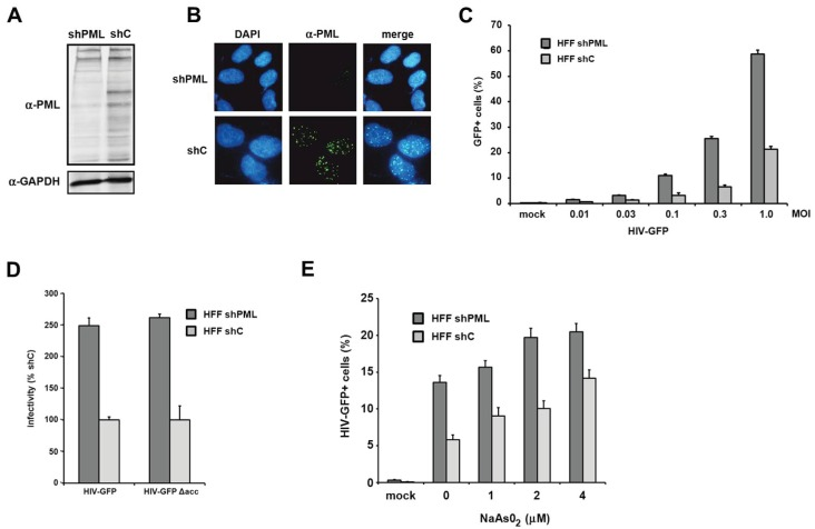 The knockdown of PML correlates with enhanced HIV-1 infectivity in HFF. ( A ) Lysates from HFF cells stably expressing shRNA directed against PML (shPML) or control shRNA (shC) were analyzed on an immunoblot probed with anti-PML antibodies or anti-GAPDH MAb; ( B ) Cellular localization of PML in HFF shC and shPML cells. HFFs were seeded onto coverslips, washed, and probed with antibodies against PML; ( C ) HFF shPML and shC cells were infected in triplicates with increasing MOI (multiplicity of infection) of VSV-G pseudotyped HIV-GFP reporter viruses or medium (mock); ( D ) HFF shPML and shC cells were infected with HIV-GFP reporter virus coding for all viral accessory proteins but nef (HIV-GFP) or with virus lacking all accessory protein (HIVGFP Δacc); ( E ) HFF shPML and shC cells were treated with increasing concentrations of sodium arsenite (NaAsO 2 ) for 36 h and infected with HIV-GFP reporter virus at a MOI of 0.3. HIV infectivity was determined 72 h postinfection by flow cytometry. The data are presented as the average of triplicates with error bars indicating the standard deviation. The results shown are representative of three independent experiments. Mock: not infected.