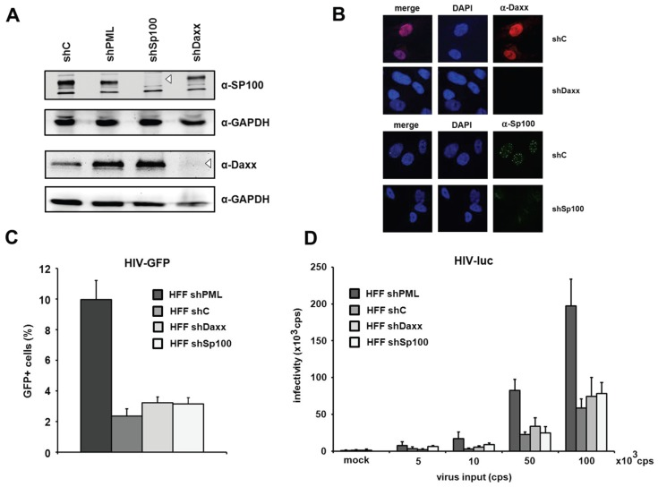 The knockdown of PML but not of Daxx or Sp100 affects HIV infectivity. ( A ) Lysates from HFFs expressing shRNA directed against, Daxx (shDaxx), Sp100 (shSp100), or control shRNA (shC) were analyzed via immunoblot. Membranes were probed with antibodies directed against Daxx, Sp100 or the loading control GAPDH; ( B ) Cellular localization of Daxx and Sp100 in HFF cells. Cells were seeded onto coverslips, washed and probed with antibodies against Daxx or Sp100; ( C ) HFF shPML, shDaxx, shSp100, and shC cells were infected in triplicates with VSV-G pseudotyped HIV-GFP at a MOI of 1 or medium (mock). Infectivity was determined 72 h postinfection by flow cytometry; ( D ) HFF shPML, shDaxx, shSp100, and shC cells were infected in quadruplicates with increasing amounts of HIV-luc (cps). Infectivity was determined 72 h postinfection by a luciferase assay and is depicted as 10 3 cps. One of three independent experiments is shown. Error bars indicate the standard deviation of triplicate infections.