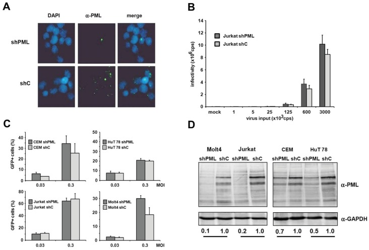 PML does not affect HIV-1 infectivity in T cells. ( A ) Jurkat shC or shPML cells were probed for immunofluorescence analysis using an anti-PML antibody mix and DAPI for nuclear staining; ( B ) Jurkat shC and shPML cells were infected with increasing amounts of VSV-G/HIV-luc reporter virus or medium (mock). Luciferase activity was determined 72 h postinfection and is depicted as counts per second (cps); ( C ) Jurkat, Molt4, CEM, and HuT78 T cell lines harboring shRNA targeting PML or control shRNA were infected with HIV-GFP at the MOIs 0.03 and 0.3. HIV-GFP infectivity was quantified after 72 h by flow cytometry. Error bars indicate the standard deviation of triplicate infections; ( D ) Cell lysates of the different shC and shPML T cell lines were analyzed by immunoblot and probed with anti-PML and anti-GAPDH antibodies. Numbers indicate the PML expression levels in shPML cells relative to shC cells. PML protein levels were quantified using the AIDA imaging software (Raytest) and were normalized to GAPDH expression.