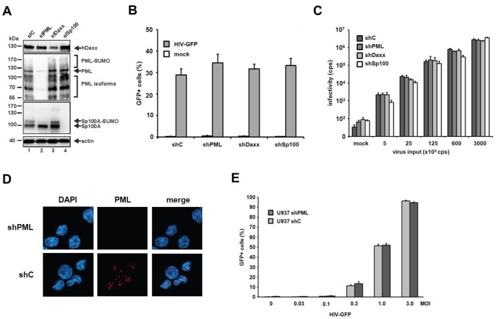 The knockdown of PML does not enhance HIV-1 infectivity in myeloid cells. ( A ) THP-1 shC, shPML, shDaxx, or shSp100 cells lysates were separated by SDS-PAGE, blotted, and probed with antibodies direct against PML, Daxx, Sp100, or the loading control Actin; ( B ) THP-1 shC, shPML, shDaxx, or shSp100 cells were infected with HIV-GFP at an MOI of 0.3 or ( C ) with increasing amounts of HIV-luciferase reporter virus. Luciferase or GFP expressing cells were quantified 72 h postinfection by a luciferase assay (counts per second, cps) or flow cytometry (percent GFP-positive cells); ( D ) U937 shC or shPML cells were probed for immunofluorescence analysis using an anti-PML antibody mix and DAPI for nuclear staining; ( E ) U937 shC or shPML cells were infected with increasing MOIs of HIV-GFP. Infectivity was quantified 72 h postinfection by flow cytometry. Each result is representative of at least three independent experiments. Error bars indicate the standard deviation of triplicate infections.