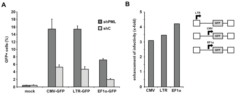The PML-mediated block to HIV infection acts independently of the LTR promoter. ( A ) HFF shPML and shC cells were transduced with the indicated HIV-GFP virus expressing the reporter gene under the control of the HIV LTR promoter (LTR-GFP), the herpesviral CMV promoter (CMV-GFP), or the cellular EF1α promoter (EF1α-GFP) at a MOI of 0.3. Infectivity was determined 72 h postinfection by flow cytometry. Error bars indicate the standard deviation of triplicate infections. ( B ) Same as in ( A ) but blotted as enhancement of HIV infectivity in shPML cells over shC cells.