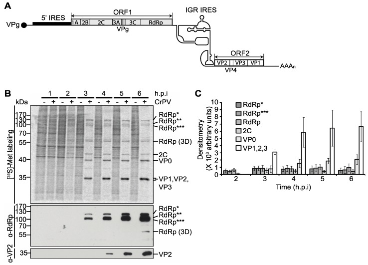 Viral non-structural and structural protein expression in CrPV-infected S2 cells. ( A ) Schematic of the genome arrangement of CrPV; ( B ) Autoradiography of pulse-labelled protein lysates from S2 cells either mock- or CrPV-infected (MOI 10) resolved on a 12% SDS-PAGE gel. The protein lysates were collected from S2 cells at the indicated times hours post-infection (h.p.i.) and metabolically labelled with [ 35 S]-Met/Cys for twenty minutes at the end of each time point (top). The identities of specific CrPV viral proteins, as shown on the right of the gel, were previously described [ 7 , 8 ] and determined by immunoblotting with α-RdRp and α-VP2 peptide antibodies or predicted by molecular weight (below); ( C ) Raw densitometric quantitation of [ 35 S]-Met/Cys pulse-labelled RdRp*, RdRp**, RdRp***, 2C, VP0, and VP1, 2, and 3 during CrPV infection from three independent experiments (±s.d.). RdRp*, RdRp**, and RdRp*** denote polyproteins containing RdRp at the approximate sizes of 120 kDa, 105 kDa, and 100 kDa respectively.