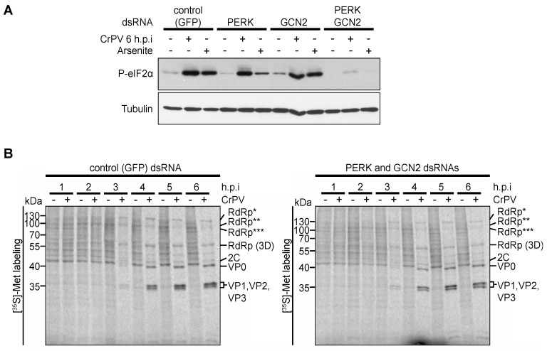 Role of dPERK and dGCN2 eIF2α kinases in CrPV-infected S2 cells. ( A ) Immunoblots (anti-phospho-eIF2α (P-eIF2α) and anti-Tubulin antibodies) of lysates from cells treated with control (GFP) dsRNAs or singly dPERK or dGCN2 dsRNAs or both dPERK/dGCN2 dsRNAs for 48 h followed by arsenite (500 μM) treatment or infection with CrPV (MOI 10); ( B ) [ 35 S]-Met/Cys pulse-labelled protein lysates from control or dPERK and dGCN2 dsRNA-treated S2 cells that were either mock or CrPV-infected (MOI 10) for the indicted times (h.p.i.) were resolved on a 12% SDS-PAGE gel. Shown are representative autoradiographs from at least three independent experiments. RdRp*, RdRp**, and RdRp*** denote polyproteins containing RdRp at the approximate sizes of 120 kDa, 105 kDa, and 100 kDa, respectively.
