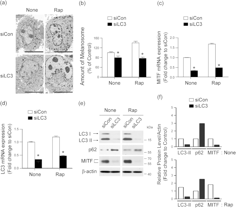 LC3 activation involves MITF expression during autophagy-induced melanogenesis. (a–f) Knockdown of LC3 decreases autophagy-induced melanogenesis. Melan-a cells were transfected with control siRNA (siCon) or LC3-specific siRNA (siLC3) and treated with (Rap) or without (None). Loss of Rap-induced melanosome formation following transfection with LC3 siRNA compared with control cells was observed by electron microscopy (a) and quantified ( b) . Scale bar, 5 μm. Data represent ± standard error of the mean (SEM) (* P
