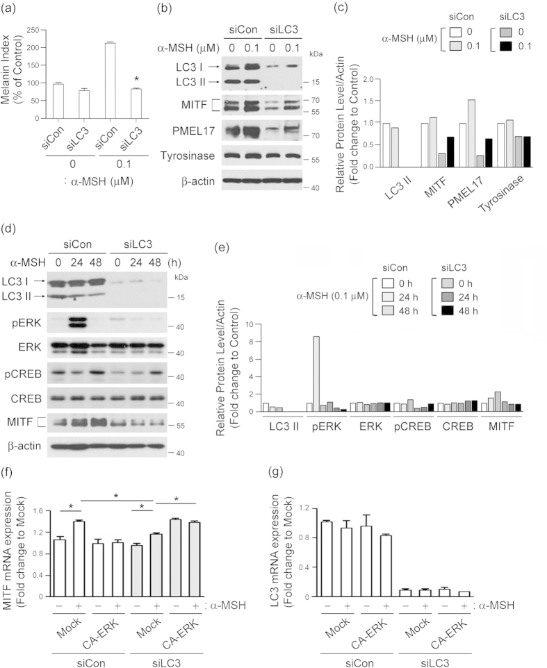 LC3 activation potentiates the melanogenic signals of α-MSH-sensitive melanoma cells. (a) Inhibition of LC3 suppresses α-MSH-induced melanogenesis. B16F10 melanoma cells transfected with control siRNA (siCon) or LC3 siRNA (siLC3) were treated with or without 0.1 μΜ α-MSH, after which their melanin content was measured. Results shown are the mean of three independent experiments ± SD. * P