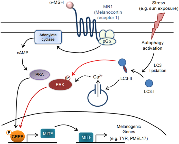 Proposed model of LC3's role in melanogenesis during stress response. This schematic describes our proposed model of the signaling pathways involved in melanogenesis and their potential link to autophagy activation. Black arrows depict steps that have been experimentally verified from previous reports, whereas dashed arrows indicate unconfirmed steps. Red arrows represent experimental results from our current study: ( i ) Autophagy activation increases LC3-II levels, which triggers ERK and CREB phosphorylation and ( ii ) ERK-CREB activation leads to increased MITF expression and subsequent melanogenesis. The results reported here suggest that LC3 is a mediator that potentiates melanogenic signaling via α-MSH and MITF under certain stress conditions (e.g. autophagy activation) in melanocytes.