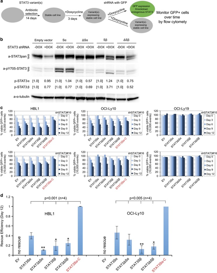 Rescue experiments using single STAT3 variants. ( a ) Workflow of knockdown/re-expression approach. Different stable cell lines were induced for expression of their individual STAT3 variants or EV control for 3 days before transduction with STAT3 shRNAs with the marker GFP. The shRNA-expressing GFP+ cells were monitored by flow cytometry over 12 days of observation. ( b ) Expression and activation of the single STAT3 variants in ABC DLBCL cells after knockdown of endogenous STAT3 by shRNA#16. OCI-Ly10 cells were manipulated as described in a , and shSTAT3 cells were selected with puromycin. After 5 days of selection, shSTAT3 was induced for expression for 4 days before immunoblotting with STAT3 or phospho-tyrosine 705 (pY705) antibody. Note that this monoclonal antibody did not recognize phospho-tyrosine 704 of STAT3ΔSα and ΔSβ. Expression of pY705 <t>STAT3α</t> or β relative to the uninduced control was quantified by densitometry. ( c ) Insufficient rescue by the individual variants. ABC DLBCL cell lines HBL1 and OCI-Ly10 and control GCB cell line OCI-Ly19 were used following the experimental procedure as described in a . The percentage of GFP+ cells expressing STAT3 shRNAs was normalized to that of the control shRNA at each time point. STAT3Sα-C expressing cells served as positive controls. The experiments were repeated twice with two different STAT3 shRNAs. ( d ) The rescue efficiencies of different STAT3 variant stable cell lines on day 12 were calculated by a formula: (% variant−% EV)/(% STAT3Sα-C−% EV). Error bars represent mean±s.d. ( n =4, * P