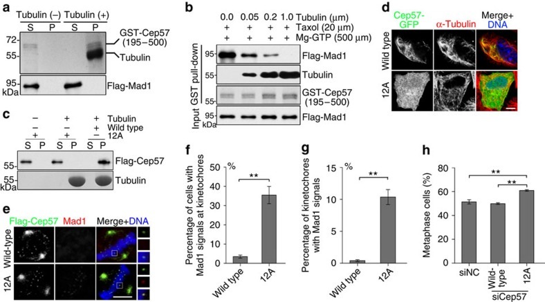 Microtubule-binding activity of Cep57 contributes to checkpoint silencing. ( a ) Microtubule-binding assays in vitro . GST-Cep57 (195–500 amino acids; 0.1 μM) expressed in E. coli and Flag-Mad1 (0.05 μM) expressed in HEK293T cells were purified and incubated with or without taxol-stabilized microtubules (1.0 μM) in BRB80 buffer. After centrifugation, supernatant (S) and pellet (P) were separated and used for Coomassie blue staining (top), and western blotting with anti-Flag antibody (bottom). ( b ) GST-Cep57 (195–500 amino acids; 0.1 μM)-coupled Glutathione Sepharose 4B beads were incubated with taxol-stabilized microtubules and purified Flag-Mad1 (0.05 μM) in BRB80 buffer at room temperature. The bead-bound proteins were analysed by western blotting with anti-Flag and anti-tubulin antibodies. GST-Cep57 (195–500 amino acids) was detected by Coomassie blue staining. ( c ) Microtubule-binding assays in vitro . Flag-Cep57 (0.05 μM) and Flag-Cep57-12A (0.05 μM) expressed in HEK293T cells and purified, and were incubated with or without taxol-stabilized microtubules (1.0 μM) in BRB80 buffer. Samples were separated by centrifugation, and analysed by western blotting with anti-Flag antibody (top) and Coomassie blue staining (bottom). 12A: K432A, K434A, K435A, K438A, K441A, K442A, K467A, R469A, K473A, R474A, R475A and K476A. ( d ) Immunostaining of α-tubulin (red) in HeLa cells expressing Cep57-GFP or Cep57-12A-GFP. DNA was stained with 4,6-diamidino-2-phenylindole (DAPI, blue). Scale bars, 5 μm. ( e ) Immunostaining of Flag-Cep57 (green) and Mad1 (red) in metaphase HeLa cells expressing RNAi-resistant wild-type Flag-Cep57 or Flag-Cep57-12A after transfection with Cep57-siRNA. DNA was stained with DAPI (blue). Scale bars, 5 μm. ( f ) Quantification of the percentage of metaphase cells with Mad1 signals at kinetochores from ( e ). Fifty cells were measured. ( g ) Quantification of the percentage of kinetochores with Mad1 signals in metaphase cells from ( e ). Greater than 100 kinetochores from 10 cells were measured. ( h ) Quantification of the percentage of metaphase cells in negative control (NC) or Cep57-depleted prometaphase and metaphase HeLa cells that expressed RNAi-resistant wild-type Flag-Cep57 or Flag-Cep57-12A. Mitotic stages were quantified by the morphology of DNA and spindles. Greater than 100 cells were measured. For f , g and h , the experiment was repeated three times. Data are mean±s.e.m. ** P