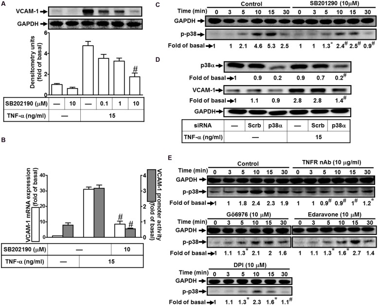 Involvement of p38 MAPK in TNF-α-induced VCAM-1 expression in HCFs. (A) HCFs were pretreated with SB202190 (0.1, 1, or 10 μM) for 1 h, and then incubated with TNF-α for 16 h. The protein levels of VCAM-1 were determined by Western blot. (B) Cells were pretreated with SB202190 (10 μM) for 1 h, and then incubated with TNF-α for 4 h. The mRNA expression (white bar) and promoter activity (gray bar) of VCAM-1 were determined by real-time PCR or promoter report assay, respectively. (C) Cells were pretreated with SB202190 (10 μM) for 1 h, and then incubated with TNF-α for the indicated time intervals. The levels of phospho-p38 MAPK were determined by Western blot. (D) Cells were transfected with either scrambled or p38 MAPK siRNA, and then incubated with TNF-α for 16 h. The levels of p38 MAPK and VCAM-1 protein were determined by Western blot. (E) Cells were pretreated without or with TNFR nAb (10 μg/ml), Gö6976 (10 μM), edaravone (10 μM), or DPI (10 μM) for 1 h, and then incubated with TNF-α for the indicated time intervals. The levels of phospho-p38 MAPK were determined by Western blot. Data are expressed as mean ± SEM of three independent experiments ( n = 3, Quantitative data of Figures 5C–E were presented in Supplementary Table S1 ). # P