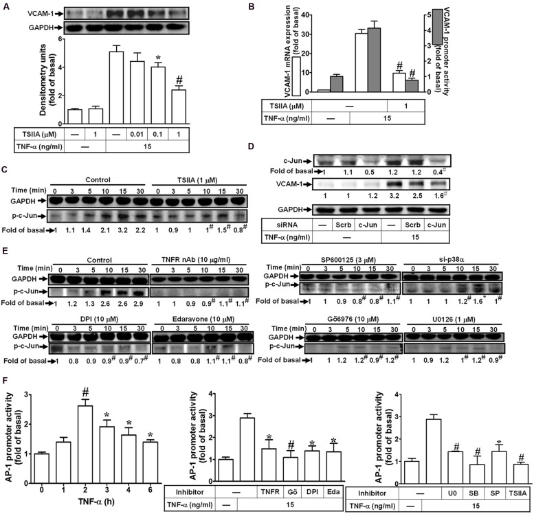 """Activation of c-Jun/AP-1 is required for TNF-α-mediated VCAM-1 expression. (A) HCFs were pretreated with TSIIA (0.01, 0.1, or 1 μM) for 1 h, and then incubated with TNF-α for 16 h. The protein levels of VCAM-1 were determined by Western blot. (B) HCFs were pretreated with TSIIA (1 μM) for 1 h, and then incubated with TNF-α for 4 h. The mRNA expression (white bar) and promoter activity (gray bar) of VCAM-1 were determined by real-time PCR or promoter report assay, respectively. (C) HCFs were pretreated with TSIIA (1 μM) for 1 h, and then incubated with TNF-α for the indicated time intervals. The levels of phospho-c-Jun were determined by Western blot. (D) HCFs were transfected with either scrambled or c-Jun siRNA, and then incubated with TNF-α for 16 h. The levels of c-Jun and VCAM-1 protein were determined by Western blot. (E) HCFs were pretreated without or with TNFR nAb (10 μg/ml), Gö6976 (10 μM), edaravone (10 μM), DPI (10 μM), U0126 (1 μM), SP600125 (3 μM) for 1 h, or p38 siRNA transfection, and then incubated with TNF-α for the indicated time intervals. The levels of phospho-c-Jun were determined by Western blot. (F) HCFs were transiently cotransfected with pAP1-Luc and pCMV-Gal for 24 h, and then incubated with TNF-α for the indicated time intervals ( F , left). The transfected cells were pretreated with TNFR nAb, Gö6976, DPI, edaravone (Eda) ( F , middle), apocynin (APO), SB202190 (SB), SP600125 (SP), or TSIIA ( F , right) for 1 h and then incubated with TNF-α for 2 h. The AP-1 transcription activity in the cell was determined as described in Section """"Materials and Methods"""". Data are expressed as mean ± SEM of three independent experiments ( n = 3, Quantitative data of Figures 7C–E were presented in Supplementary Table S2 ). ∗ P"""