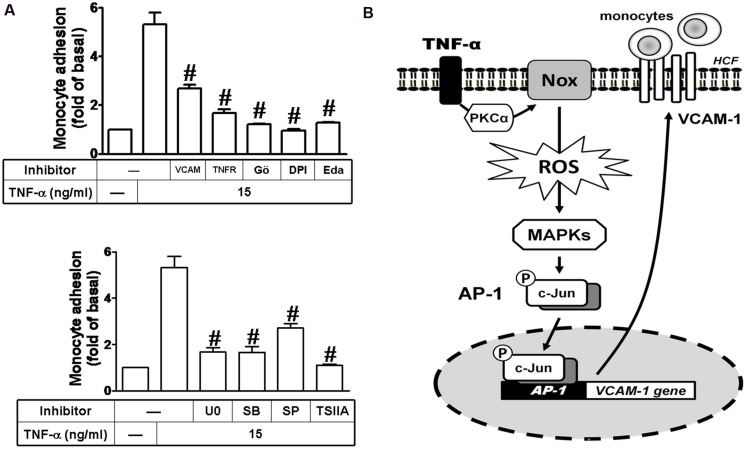 """Up-regulated VCAM-1 by TNF-α contributes to promotion of monocyte adhering to these HCFs. (A) For cell adhesion activity, cells were pretreated with VCAM-1 nAb, TNFR nAb, Gö6976 (Gö), DPI, edaravone (Eda) ( Figure 7A , upper), U0126 (U0), SB202190 (SB), SP600125 (SP), or TSIIA ( Figure 7A , lower) for 1 h and following by TNF-α (15 μg/ml) for 16 h prior to addition of THP-1 monocytes. The adhesion activity was determined by cell adhesion assay as described in Section """"Materials and Methods"""". Data are expressed as mean ± SEM of at least five individual experiments ( n = 5). # P"""
