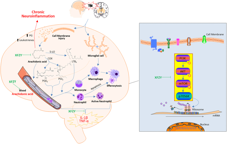 Inflammatory response in the brain after TBI and the pathomechanism of the anti-inflammatory effect of XFZY. Following TBI, the mechanical injury-stimulated cell membrane releases arachidonic acid (AA), which is metabolized into prostaglandin E2 (PGE2) and prostacyclin (PGI2) by cyclooxygenase-2 (COX-2) and into leukotrienes (LTB 4 ) by 5-lipoxygenase (5-LO). The three inflammatory mediators initiate acute inflammation, including changes in blood flow, increased capillary permeability and inflammatory cell recruitment in the brain injury ambitus zone, including polymorphonuclear leukocytes (i.e., neutrophils) and monocytes. Excess prostaglandins and leukotrienes contribute to chronic inflammation. The neutrophils are activated to further release chemotactic factors, devour necrotic tissue and sterilize bacteria. The influx of monocytes and resident microglial cells develop into macrophages, which secrete pro-inflammatory factors (e.g., <t>TNF-α</t> and IL-1β) and consume foreign bodies, necrotic tissue or apoptotic cells (e.g., efferocytosis). XFZY significantly suppressed the increased levels of blood AA, TNF-α and IL-1β in brain tissue, indicating that XFZY possesses anti-inflammatory effects. To target the PI3K-AKT-mTOR signaling pathway, XFZY significantly reversed the elevated phosphorylation of AKT/mTOR in brain tissue post-TBI, as well as the downstream p70S6K, resulting in a reduced translation ratio of inflammatory factors and exerting anti-inflammatory effects.