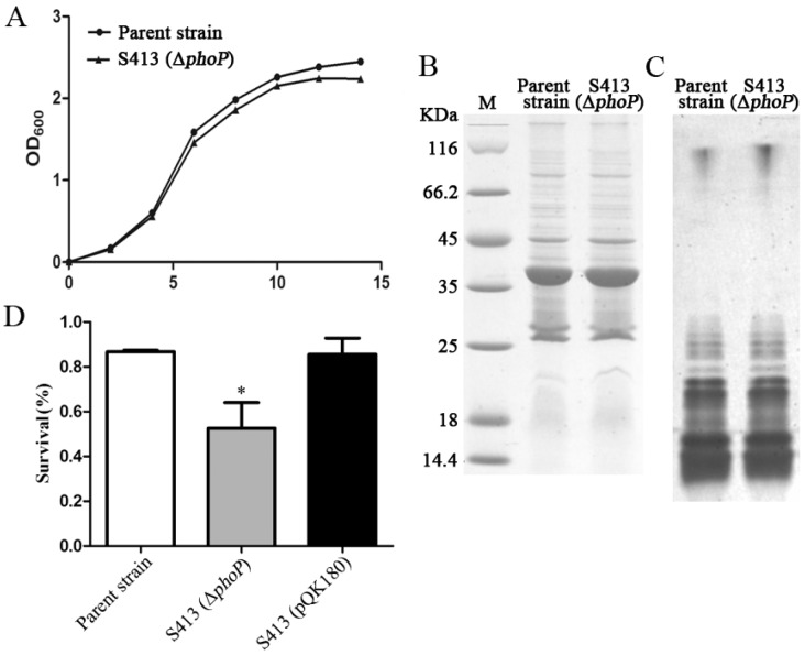 Phenotype characterization of the P. <t>multocida</t> Δ phoP mutant. ( A ) The growth curve of the parent strain and the Δ phoP mutant. P. multocida were cultured in brain heart infusion <t>(BHI)</t> broth supplemented with or without kanamycin, and then the OD 600 value of each strain was measured every 2 h over a period of 14 h; ( B , C ) The OMP and LPS profiles of P. multocida . OMPs or LPS were extracted from the parent strain or the Δ phoP mutant and were then subjected to sodium dodecyl sulfate polyacrylamide gel electrophoresis (SDS-PAGE). Next, Coomassie blue staining and silver staining were applied to visualize the OMPs ( B ) and LPS ( C ), respectively. M refers to the protein Marker; ( D ) The resistance to polymyxin B. The parent strain, S413 and the complement stain S413 (pQK180) were cultured in BHI broth with or without 0.5 μg/mL polymyxin B for 1 h, and the survival ratio of each strain was calculated as the mean CFU of the polymyxin B-treated group divided by the mean CFU of the untreated group. The data in D are expressed as the mean ± SD and were analyzed at the significance level of 0.05 (*).