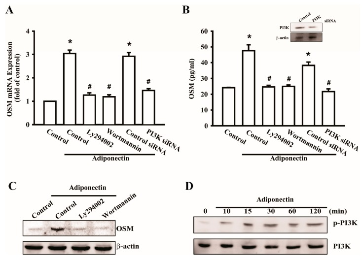 Signaling pathways of phosphatidylinositol 3-kinase (PI3K) involved in potentiating action of adiponectin. ( A ) Osteoblasts were pretreated with PI3K inhibitors, LY294002 (10 μM) or Wortmannin (5 μM), or transfected with p85 short interference RNA (siRNA) (0.5 nM) for 24 h followed by stimulation with adiponectin (100 ng/mL), OSM expression was measured by qPCR ( n = 6); ( B ) Cells were transfected with p85 siRNA (0.5 nM) for 24 h, the protein level of PI3K was measured by Western blot ( upper-panel ), and supernatant medium was collected to measure OSM expression by ELISAassay ( lower-panel ) ( n = 4); ( C ) Cells were pretreated with PI3K inhibitors, LY294002 (10 μM) or Wortmannin (5 μM), for 30 min followed by stimulation with adiponectin (100 ng/mL), the protein level of OSM was measured by Western blot ( n = 5); ( D ) Osteoblasts were incubated with adiponectin (100 ng/mL) in time intervals, and phosphate-PI3K expression was investigated by Western blot ( n = 6). Results are expressed as mean ± S.E.M. *, p