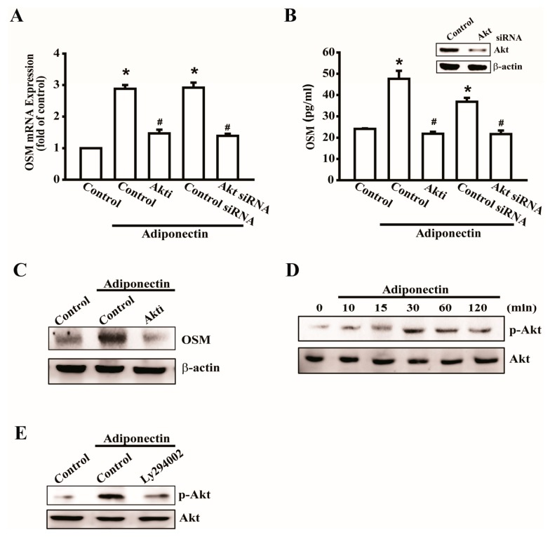 Involvement of Akt in adiponectin-induced OSM expression in osteoblasts. ( A ) Osteoblasts were pretreated with Akt inhibitors (Akti) (20 μM) or transfected with Akt siRNA (0.5 nM) for 24 h followed by stimulation with adiponectin (100 ng/mL), OSM expression was measured by qPCR ( n = 6); ( B ) Cells were transfected with Akt siRNA (0.5 nM) for 24h, the protein level of Akt was measured by Western blot ( upper-panel ), and supernatant medium was collected to measure OSM expression by ELISA assay ( lower-panel ) ( n = 5); ( C ) Cells were pretreated with Akti (20 μM) for 30 min followed by stimulation with adiponectin (100 ng/mL), the protein level of OSM was measured by Western blot ( n = 5); ( D ) Osteoblasts were incubated with adiponectin (100 ng/mL) in time intervals, and phosphate-PI3K expression was investigated by Western blot ( n = 4); ( E ) Cells were pretreated with PI3K inhibitor, LY294002 (10 μM), for 30 min followed by stimulation with adiponectin (100 ng/mL), phosphate-Akt expression was investigated by Western blot ( n = 5). Results are expressed as mean ± S.E.M. *, p