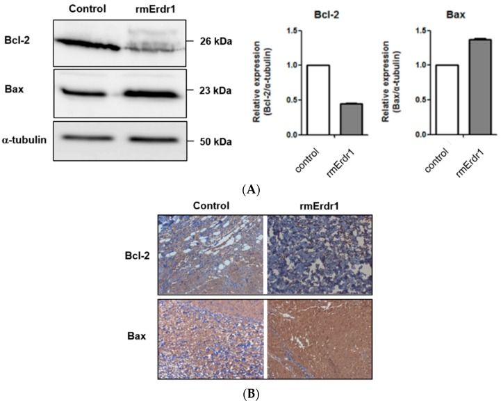 Erdr1 suppresses Bcl-2 and induces Bax in vivo . ( A ) Tumor tissues were lysed, and identical amounts of lysate were loaded onto an acrylamide gel. Western blotting was performed using rabbit anti-mouse Bcl-2 antibody, rabbit anti-mouse Bax antibody, and mouse anti-α-tubulin antibody; ( B ) Bcl-2 and Bax levels in tumor tissues were measured using immunohistochemistry. Sections from tumors were stained with rabbit anti-mouse Bcl-2 antibody and rabbit anti-mouse Bax antibody. Stained sections were examined with the microscope and photographed. Original magnification (100×).