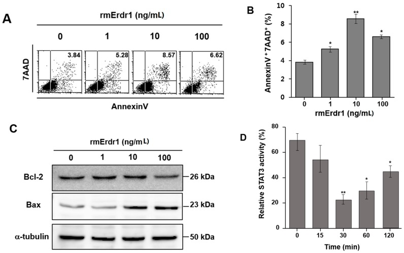 Erdr1 induces apoptosis via regulation of Bcl-2 and Bax in murine melanoma cell lines. ( A ) B16F10 cells were treated with different doses (0, 1, 10, and 100 ng/mL) of recombinant murine Erdr1 for 24 h. Staining with 7-AAD and Annexin V was performed to measure apoptosis induced by recombinant murine Erdr1. After staining, stained cells were analyzed with flow cytometry analysis. The image shows one of the representative experiments of three experiments performed independently; ( B ) Flow cytometry analysis data were converted into a bar graph. The data represents the mean ± SD of one of three independent experiments. *, p