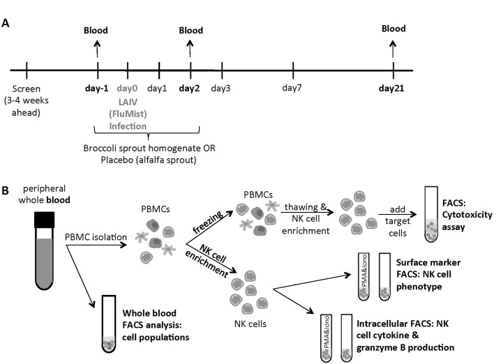 Overview of sample collection and processing. (A) Study design and sample collection. Details of the complete study have been published previously [ 1 ]. (B) Blood samples were stained for total leukocyte populations or used for NK cell enrichment. NK cells were analyzed for surface marker expression or cytokine production either naive or stimulated with PMA and ionomycin (Iono). Half of the peripheral blood mononuclear cells (PBMCs) were frozen and used later for the cytotoxicity assay.