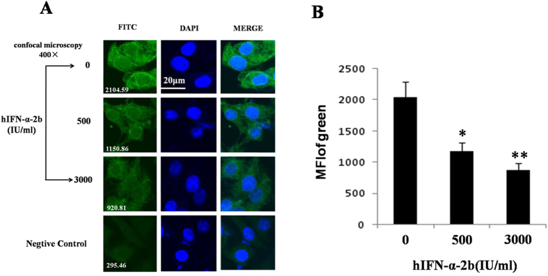 Immunofluorescence staining assayed the p11 protein in SH-sy5y cells treated with hIFN-α-2b (0, 500, and 3000 IU/mL) for 24 h. The cells were stained with antibodies against p11 (primary antibody) and <t>FITC-labeled</t> secondary antibodies. ( A ) The FITC column in the micrographs showed the p11 protein levels. The white numbers at the bottom left of each section represented the average fluorescent intensity (MFI). In the middle column, DAPI staining shows the cells nuclei. Merged images of FITC and DAPI staining were shown in the column on the right. Confocal microscopy was conducted at 400× and the scale bar represents 20 μm. The negative control group was stained with rabbit <t>IgG</t> instead of the primer antibody. ( B ) Histogram of the mean fluorescence intensity of FITC. All results were representative of three separate experiments. The data represented the mean ± S.E. compared with the controls. * P