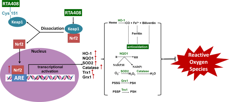 RTA 408 activates the Nrf2 pathway which leads to an upregulation of antioxidant enzymes and protects the cell from oxidative stress . Binding of RTA 408 to Cys151 in Keap1, the negative regulator of Nrf2, results in Keap1 inhibition. This promotes Nrf2 movement into the nucleus where it binds to the antioxidant response element (ARE). With the activation of ARE, transcriptional activation of antioxidant enzymes heme oxygenase-1 (HO-1), NADPH dehydrogenase (NQO1), superoxide dismutase 2 (SOD2), catalase, thioredoxin 1 (Trx1), and glutaredoxin 1 (Grx1) occurs. HO-1 converts heme to carbon monoxide, iron (II), and biliverdin, which all indirectly scavenge ROS. NQO1 converts enzymes and other proteins (R) back to their reduced form (RH) through the electron transfer between NADPH and NADP. Superoxide (O 2 − ) can be converted to hydrogen peroxide using SOD2 and then further processed into water by catalase. Grx1 and Trx1 work together to reduce protein-glutathione mixed disulfide (PSSG) and protein-protein disulfide (PSSP) to protect protein thiols from oxidation. Overall, RTA 408 induction of phase II antioxidant enzymes such as HO-1, NQO1, SOD2, catalase, Grx1, and Trx1 via activation of Nrf2 promote RPE cell survival during oxidative stress.
