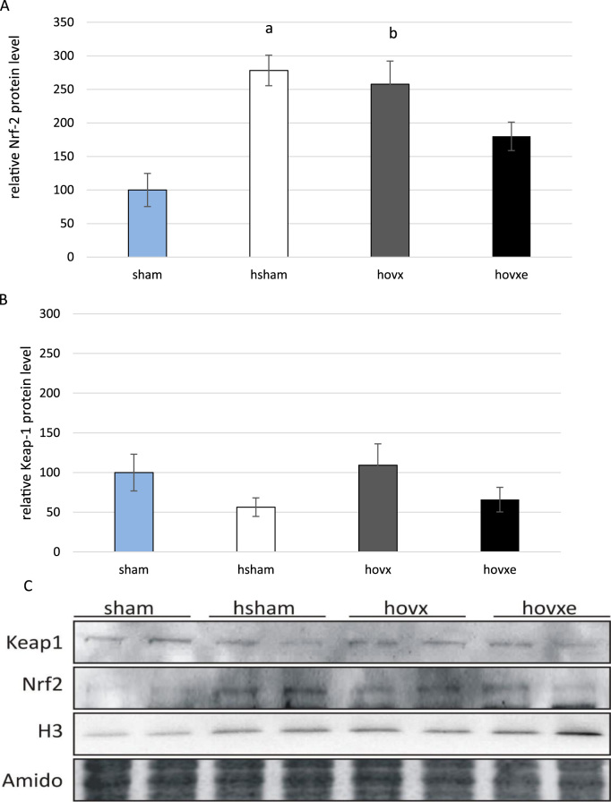 Western blot analysis of Nrf-2 and <t>Keap-1</t> protein levels in the nucleus of sham, hsham, hovx, and hovxe groups of mice. Nrf-2 level is significantly increased in the nucleus of mice treated with hyperoxia alone. Small letters denote p values. ( a p =0.008, sham vs. hsham mice), as well as in mice treated with the combination of hyperoxia and ovariectomy ( b p =0.010, sham vs. hovx) in comparison to normoxic group of animals (A). Nuclear accumulation of Keap-1 remained unchanged regardless of any treatment (B). Representative immunoblots of Nrf-2 and Keap-1 proteins in nuclear fractions of sham, hsham, hovx and hovxe group of mice are shown. Histone H3 was used to assess the purity of nuclear fraction. Amidoblack was used as a loading control. The results are presented as mean±S.D. and normalized to sham group (C). The number of samples was n =2 per each group.
