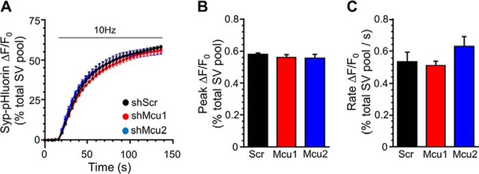 MCU knockdown has no effect on SV exocytosis. Neurons transfected with syp-pHluorin and either shRNA targeting MCU ( shMcu1 and shMcu2 ) or a scrambled control ( shScr ) were stimulated with an action potential train (10 Hz, 120 s, indicated by the bar ) in the presence of <t>bafilomycin</t> A1. A , average traces for syp-pHluorin fluorescence (ΔF/F 0 ± S.E.) under each condition normalized to maximal fluorescence obtained in alkaline buffer (total SV recycling pool). B , average peak Syp-pHluorin fluorescence normalized to the total SV recycling pool. C, mean SV exocytosis rate calculated using a linear fit to Syp-pHluorin fluorescence during the first 12 s of stimulation. B and C , data are mean ± S.E. (shScr, n = 6; shMcu1, n = 7; shMcu2, n = 5; one-way ANOVA with Holm-Šídák post hoc tests; all non-significant; p > 0.05).