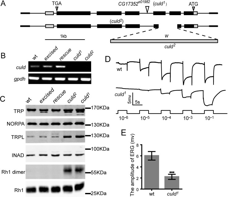 Mutations in culd increase the protein levels of TRPL and Rh1 and decrease light sensitivity. (A) Organization of the culd locus and two culd alleles. The culd 1 allele consists of a PiggyBac insertion in the third intron of culd . The culd 2 allele lacks most of the second and third exons, a deletion induced by gene targeting. (B) Both culd 1 and culd 2 mutations disrupt culd transcription. gpdh served as a loading control. The genotypes are as follows: wild-type (wt), w 1118 ; excised , a precise excision of culd 1 ; rescue , ninaE-culd-rfp, culd 1 . (C) Western blotting revealed that culd loss-of-function increased TRPL levels and the amount of Rh1 aggregations. Protein extracts from half a head were loaded for each lane. Four-day-old flies raised under 12-h-light–12-h-dark cycles were used. (D) ERG recordings from 4-day-old wt ( cn bw ) and culd 1 ( cn bw ; culd 1 ) flies. Flies were dark-adapted for 2 min before exposed to five pulses of white light of increasing intensities. The maximal light intensity is 300 Lux (10 −1 ). (E) Quantification of the ERG amplitudes of wt and culd 1 flies in the intensity of 0.3 Lux (10 −4 in D). Error bars represent s.d. ( n =7). *** P