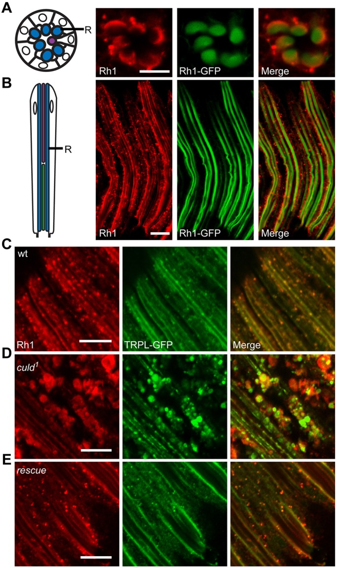 Rh1 and TRPL accumulate within culd 1 photoreceptors. (A,B) The left row shows a schematic diagrams of cross-sectional (A) and longitudinal views (B) of photoreceptor cells from a single ommatidium. The rhabdomere (R) is indicated. The right rows show the whole-mount staining of Rh1 in cross-sectional (A) and longitudinal (B) views. Eyes from <t>ninaE-rh1-gfp</t> flies were dissected and stained for Rh1 (red). GFP fluorescence of Rh1–GFP was directly observed (green). (C–E) Rh1 and TRPL accumulated in large vesicles within the cytoplasm of culd 1 photoreceptor cells. Compound eyes from (C) wild-type (wt) ( ninaE-trpl-gfp ), (D) culd 1 ( cn bw; ninaE-trpl-gfp culd 1 ) and (E) rescue ( cn bw; <t>ninaE-culd-rfp</t> culd 1 ) flies were dissected and immunostained for Rh1. The ninaE-trpl-gfp transgene was present in all genotypes and GFP signals were directly observed. Two-day-old flies with white eyes were placed in the dark for 12 h before being exposed to 2000 Lux white light for 2.5 h. Scale bars: 10 µm.
