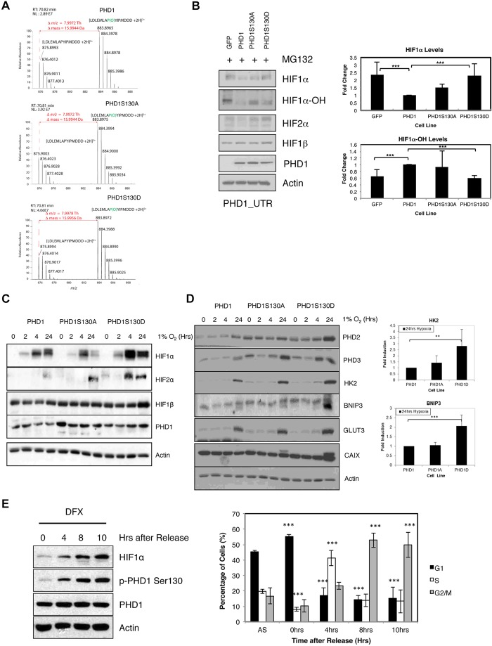 PHD1 phosphorylation at S130 modulates HIF mediated responses to hypoxia. (A) Recombinant purified PHD1, PHD1-S130A and PHD1-S130D enzymes were used in an in vitro hydroxylation assay using a peptide derived from the HIF1α ODD region (containing proline 564). Reactions were stopped with the addition of DFX, and samples were analysed by mass spectrometry. Electrospray-MS spectrum of the product of in vitro hydroxylation of the HIF1α peptide LDLEMLAPYIPMDDD showing an m/z increment of 7.99 Th (mass increment of 15.9944 Da) corresponding to proline hydroxylation of the doubly charged ion at m/z 875.8993 Th and the formation of the ion 883.8965 Th (the mass of the hydroxylated peptide) corresponding to the hydroxylation of proline 564 of HIF1α. The ion normalized level (NL) for the hydroxylated peptide is 2.89×10 7 for wild-type PHD1, 3.92×10 7 for PHD1-S130A and 4.06×10 7 for PHD1-S130D. (B) U2OS GFP, PHD1–GFP, PHD1-S130A–GFP and PHD1-S130D–GFP were transfected with PHD1 siRNA targeting the 3′-UTR (untranslated region) of endogenous PHD1 mRNA for 48 h prior to treatment with MG132 for 3 h. Whole-cell lysates were analysed by western blotting for the levels of the indicated proteins. Graph depicts western blot quantification showing mean±s.d. of a minimum of three independent experiments. (C) U2OS PHD1–GFP, PHD1-S130A–GFP and PHD1-S130D–GFP cells were exposed to 1% O 2 for the indicated periods of time prior to lysis. Whole-cell lysates were analysed by western blotting using the indicated antibodies. (D) Cell extracts obtained in C were analysed for the levels of the indicated HIF-dependent targets by western blotting. The graph depicts the quantification of western blots for HK2 and BNIP3, and illustrates the mean±s.d. for a minimum of three independent experiments. (E) U2OS PHD1–GFP cells were subject to a double-thymidine block release protocol prior to lysis or fixation on the indicated periods of time. For the last 3 h of each time point, 200 µM DFX was added to t