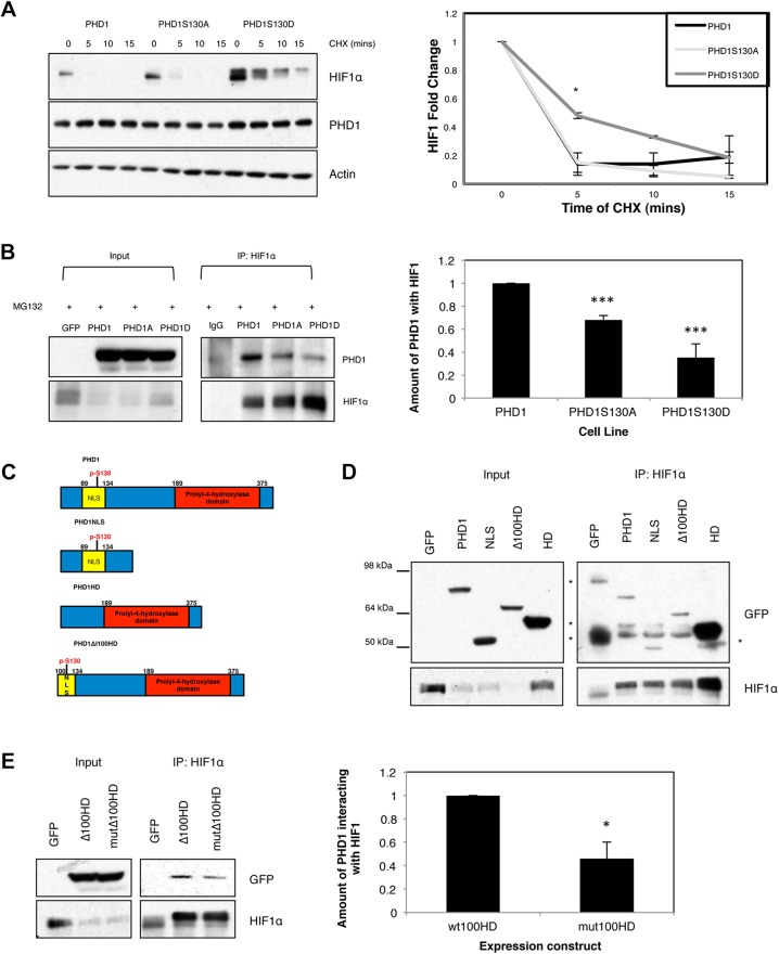PHD1 phosphorylation at Serine 130 alters the ability of PHD1 to target HIF1α. (A) U2OS PHD1–GFP, PHD1-S130A–GFP and PHD1-S130D–GFP cells were exposed to 1% O 2 for 4 h prior to treatment with cycloheximide for the indicated periods of time. Whole-cell lysates were analysed by western blotting for the levels of HIF1α and appropriate controls. Western blots were quantified and the graph depicts mean±s.d. of a minimum of three independent experiments. (B) U2OS GFP, PHD1–GFP, PHD1-S130A–GFP and PHD1-S130D–GFP cells were treated with MG132 for 3 h prior to lysis. 300 µg of cell extracts were used to immunoprecipitate (IP) HIF1α, with normal mouse IgG used as a control. Precipitated material was analysed by western blotting for the indicated proteins. Western blots were quantified, and the graph depicts the mean±s.d. of a minimum of three independent experiments. (C) Schematic diagram of the PHD1 expression constructs used in this study. Highlighted are the nuclear localization signal (NLS), S130 and the hydroxylase domain (HD). (D) HEK293 cells were transfected with 1 µg of the indicated expression constructs for 48 h prior to treatment with MG132 and processed as in B. *, non specific band. (E) HEK293 were transfected with 1 µg of the indicated expression constructs for 48 h prior to treatment with MG132 and processed as in B. Western blots were quantified, and the graph depicts mean±s.d. of a minimum of three independent experiments. * P