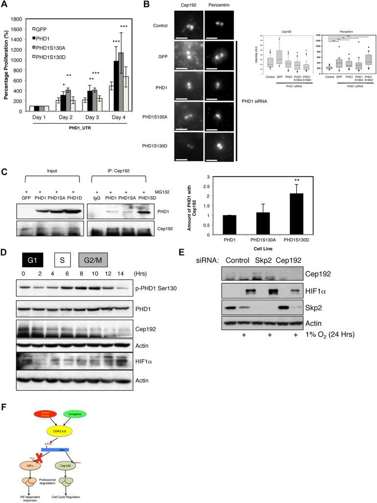 S130 of PHD1 is important for PHD1-mediated control of cell proliferation. (A) U2OS GFP, PHD1–GFP, PHD1-S130A–GFP and PHD1-S130D–GFP cells were transfected with siRNA oligonucleotides targeting the 3′UTR of endogenous PHD1 prior to proliferation being assessed. Total cell numbers were counted, and the graph depicts mean±s.d. of a minimum of three independent experiments. Data were normalised to proliferation in GFP cells and expressed as a percentage. (B) U2OS GFP, PHD1GFP, PHD1-S130A–GFP and PHD1-S130D–GFP cells were transfected with siRNA oligonucleotides targeting the 3′UTR of endogenous PHD1 prior to fixation and immunostaining for Cep192 and pericentrin. Scale bars: 2 µm. Graph depicts box-and-whisker plots for Cep192 and Pericentrin intensity. Box-and-whisker plot, middle line shows the median value; the bottom and top of the box show the lower and upper quartiles (25-75%); whiskers extend to 10th and 90th percentiles, and all outliers are shown. n =22–38 cells per condition. (C) U2OS GFP, PHD1GFP, PHD1-S130A–GFP and PHD1-S130D–GFP cells were treated with MG132 for 3 h prior to lysis. 300 µg of cell extracts were used to immunoprecipitate (IP) Cep192, with normal mouse IgG used as a control. Precipitated material was analysed by western blotting for the indicated proteins. Western blots were quantified and the graph depicts mean±s.d. of a minimum of three independent experiments. (D) Cell extracts from Fig. 3 A were analysed by western blotting for the levels of Cep192 and HIF1α. G1, S, and G2/M are the phases of the cell cycle that correspond to the indicated time points. (E) U2OS were transfected with the indicated siRNAs prior to treatment with 1% O 2 for 24 h. Whole-cell lysates were analysed by western blotting using the depicted antibodies. (F) Schematic diagram for the proposed model for PHD1 regulation by CDKs. * P