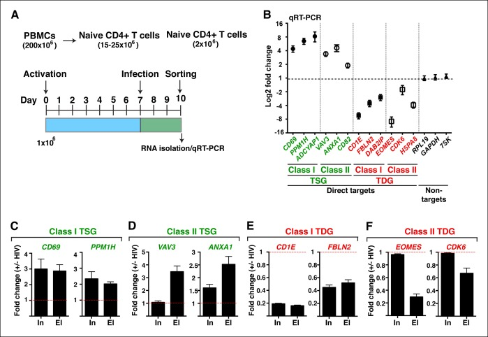 HIV infection of central memory CD4+ T cells triggers deregulation of TSG and TDG detected in the genome-wide approaches. ( A ) Scheme of the pipeline used to generate primary central memory T cells (T CM ) and infect with replication competent HIV to identify differentially expressed genes. ( B ) qRT-PCR analysis on the indicated class I and II TSG, TDG and non-target genes (mean ± SEM; n = 3). Cells from panel ( A ) were used to isolate total RNA and the expression of initiating (In) and elongating (El) transcripts for class I TSG ( C ), class II TSG ( D ), class I TDG ( E ) and class II TDG ( F ) was measured by qRT-PCR, normalized to RPL19 , and plotted as fold RNA change: HIV infection/mock infection (mean ± SEM; n = 3). HIV, human immunodeficiency virus; qRT-PCR, quantitative real time polymerase chain reaction; TDG, Tat downregulated genes; TSG, Tat stimulated genes; SEM, standard error of the mean. DOI: http://dx.doi.org/10.7554/eLife.08955.011