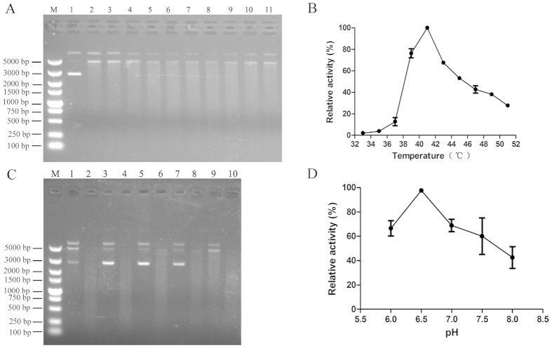 Effect of pH or temperature on <t>Rv0888</t> enzymatic activity. ( A ) Analysis of the effect of temperature on Rv0888 enzymatic activity by agarose gel electrophoresis. The reaction was performed in 20 mM Tris-HCl pH 6.5, 5 mM CaCl 2 and 5 mM MnCl 2 for 1 h. Line M: DL5000 <t>DNA</t> Marker; Line 1: circular plasmid DNA; Lines 2-11: circular plasmid DNA and Rv0888 ranging between 33 °C and 51 °C at 2 °C intervals. ( B ) Quantification of DNase activity by spectrophotometry and error bars are given as standard deviations. ( C ) Analysis of the effect of the pH on Rv0888 enzymatic activity by agarose gel electrophoresis. The reaction was performed in 20 mM Tris-HCl, 5 mM CaCl 2 and 5 mM MnCl 2 for 1 h at 37 °C. Line M: DL5000 DNA Marker; Lines 1, 3, 5, 7, 9: circular plasmid DNA ranging between pH 6.0 and pH 8.0 at 0.5 intervals; Lines 2, 4, 6, 8, 10: circular plasmid DNA and Rv0888 ranging between pH 6.0 and pH 8.0 at 0.5 intervals. ( D ) DNase activity was quantified by spectrophotometry and error bars are given as standard deviations.