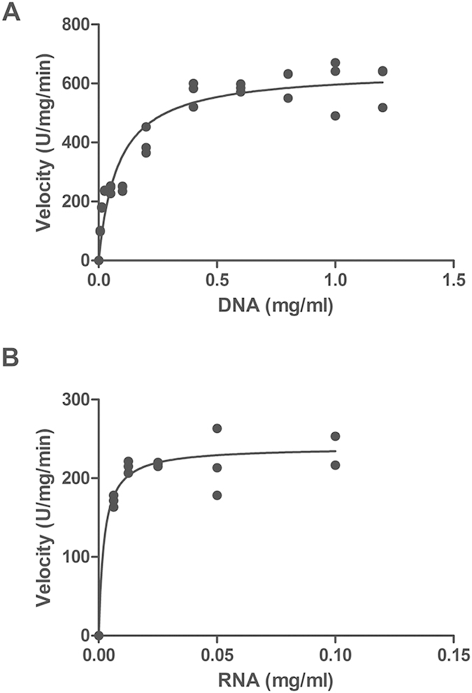 Michaelis-Menton kinetics assays of the DNase ( A ) and the RNase ( B ) activity of Rv0888. The reaction was performed in 20 mM Tris-HCl pH 6.5, 5 mM CaCl 2 and 5 mM MnCl 2 for 1 h at 41 °C. K m values for DNA and RNA were 0.306 ± 0.04 mg/mL and 0.012 ± 0.01 mg/mL, respectively; the V max values for DNase and RNase activity were 600.56 U/mg/min and 241.11 U/mg/min, respectively.