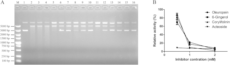 Oleuropein, 6-Gingerol, Corylifolinin, and Acteoside inhibit Rv0888 activity against circular plasmid DNA. The reaction was performed in 20 mM Tris-HCl pH 6.5, 5 mM CaCl 2 and 5 mM MnCl 2 for 1 h at 41 °C. (A) Line M: DL5000 DNA Marker; Line 1: circular plasmid DNA; Line 2: circular plasm id DNA and Rv0888; Line 3: circular plasmid DNA and Rv0888 in 50% ethanol; Line 4: circular plasmid DNA and Rv0888 in 50% dimethyl sulfoxide; Lines 5–7: circular plasmid DNA, Rv0888 and Oleuropein (0.5 mM, 1 mM, 2 mM, respectively); Lines 8–10: circular plasmid DNA, Rv0888 and 6-Gingerol (0.5 mM, 1 mM, 2 mM, respectively); Lines 11–13: circular plasmid DNA, Rv0888 and Corylifolinin (0.5 mM, 1 mM, 2 mM, respectively); Lines 14–16: circular plasmid DNA, Rv0888 and Acteoside (0.5 mM, 1 mM, 2 mM, respectively). (B) Quantification of DNase activity by spectrophotometry and error bars are given as standard deviations.