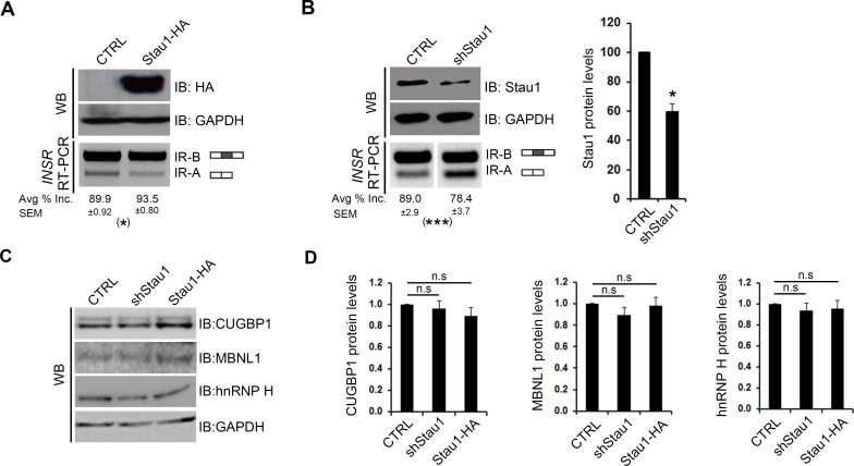 Stau1 levels regulate the pre-mRNA splicing of the human INSR in HeLa cells. (A) pGIPZ (CTRL) or Stau1-HA (Stau1-HA) plasmids were transiently transfected into HeLa cell lines, and total RNA and protein lysate was collected after 48 hours. RT-PCR using primers specific to the human endogenous INSR were used on cDNA synthesized from total RNA to amplify the two isoforms (IR-A and IR-B) of the INSR . Stau1-HA protein levels were assessed by Western blot using HA-specific antibodies, and GAPDH was used as a loading control. (B) shCTRL or shStau1 were transiently transfected into HeLa cell lines and total RNA and protein lysate was collected after 48 hours. RT-PCR was performed to amplify the INSR isoforms. Stau1 protein levels were assessed by Western blot and quantified using GAPDH as a loading control. (C) Representative Western blots showing protein levels of CUGBP1, MBNL1 and hnRNP H in HeLa cells transfected with CTRL, shRNA or Stau1-HA plasmids. GAPDH was used as a loading control. (D) Quantification of Western blot analysis of splicing factors upon Stau1 level modulation. In all cases, bar graphs show an average of ≥3 independent experiments. Error bars represent SEM * = p